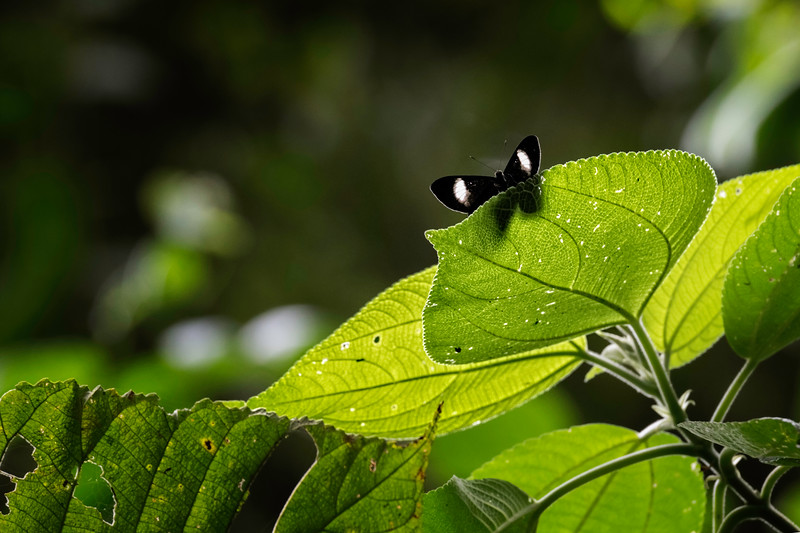 Black and weight butterfly