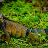 Happy iguana.