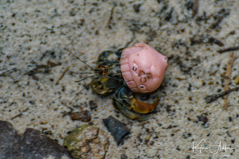 A strange sighting: this hermit crab re-purposed the discarded head of a child's doll for its new shell.