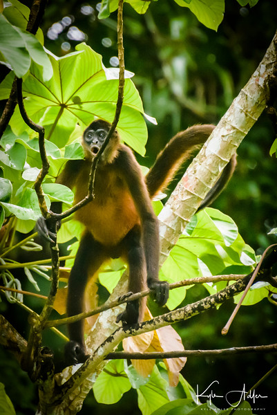 A spider monkey feeds in a tree on an island in Gatun Lake.