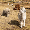 Alpaca grazing in the sun