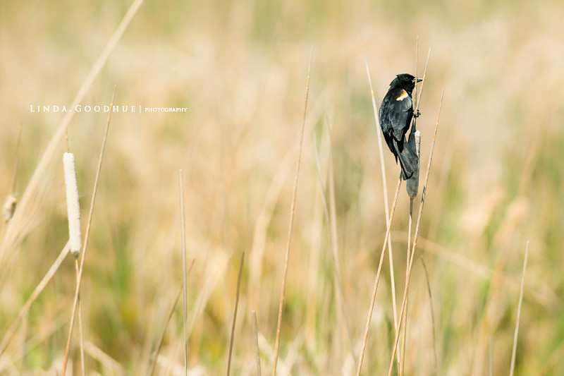 Red-winged Blackbird in Marsh