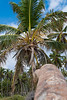 Palm Tree in Punta Cana