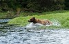 Charging male Grizzly bear. He has charged across the meadow and plunges into the creek, not in pursuit of us but the cub. The raw power of this creature is breathtaking.