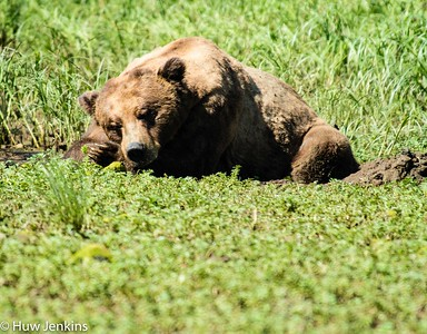 On the meadows a sleeping male grizzly bear. About 18 yrs old he is 155cm at the shoulder when on all 4 paws and likely weighs 450 K. At the moment he is King of the Khutzeymateen.
