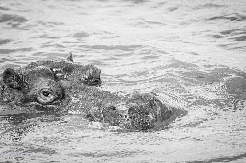 Hippo. St Lucia River. KZN. South Africa