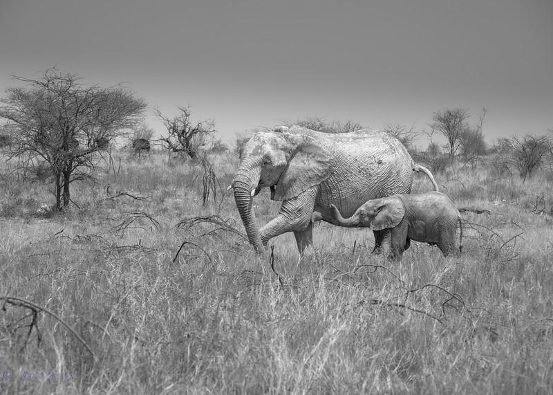 Fermale elephant and calf. Etosha National Park. Namibia