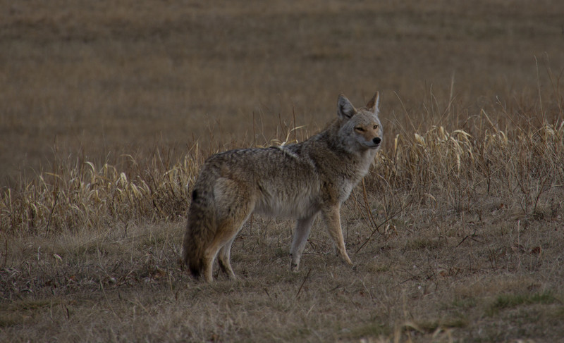 Coyote searching for a mate