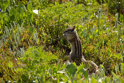 Chipmunk. Sunshine Meadows