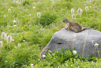 Columbian Ground Squirrel, Sunshine Meadows
