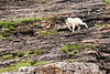Mountain Goat on a precipice; Valley of the Six Glaciers