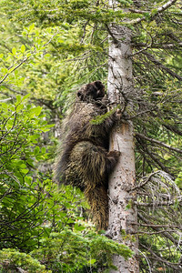 Porcupine. Lake Louise