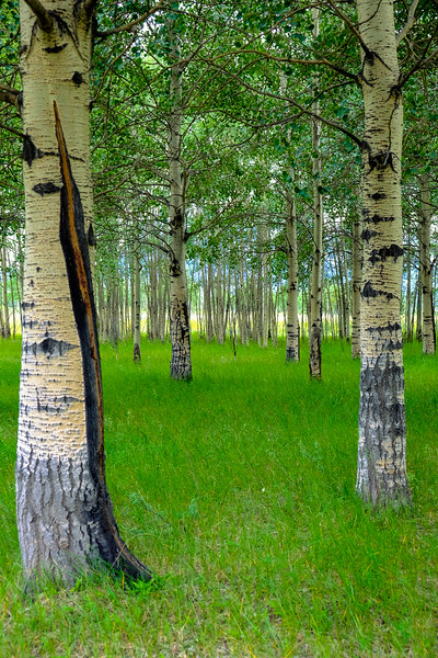 Aspen Grove on Kootenay Plains