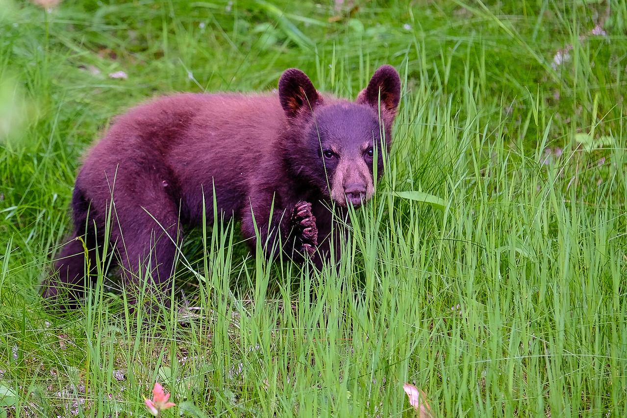 Back Bear Cub