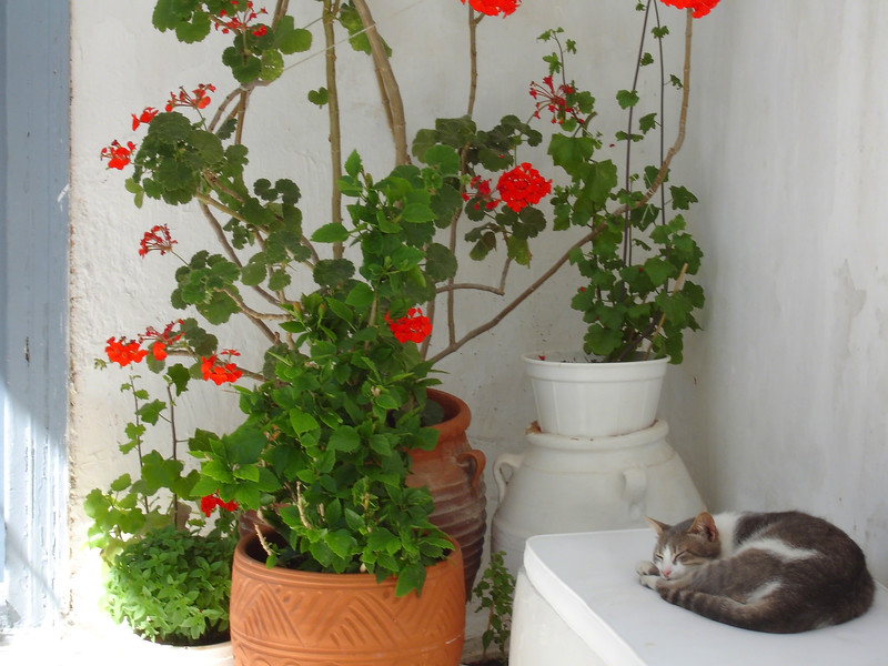 Now this cat has the right idea. Find a nice shady spot on the island of Santorini.