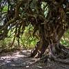 Old olive tree at Olivastri Millenari