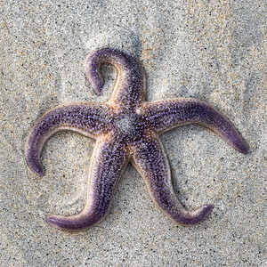 Purple Starfish