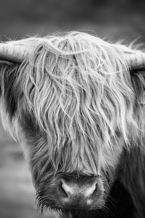 Highland Cow in Monochrome