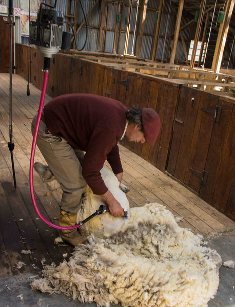 Once the shearing starts the sheep stops struggling. There is no ba-ing or bleating protest.