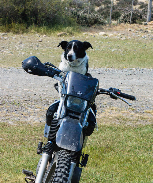 Sheepdogs are still an integral part of the operation. A motorcycle replaces the horse the his  {the ranchers} grandfather would have used.