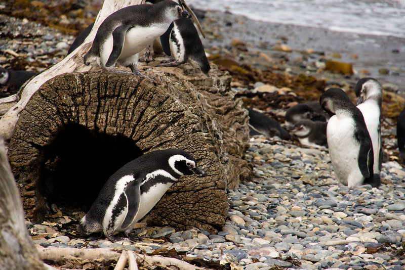 Magellanic Penguins. They have the same call as the Jackass penguins in South Africa - a donkey like braying noise.