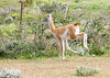 Guanaco are camelids and closely related to llamas. Range is limited to Patagonia
