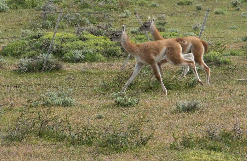 These young guanaco are just a few weeks old