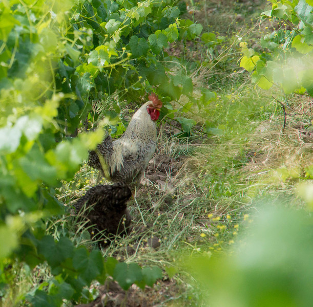 At Antiyal chickens provide nutrition for the vines - with help from llamas, horses and cows. The mammals don't get to graze the vines till grapes are picked; otherwise they eat  them which is bad for business.