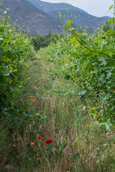 Flowers as pest control in Antiyal; a prestigious biodynamic vineyard at the foot of the Andes not far from Santiago