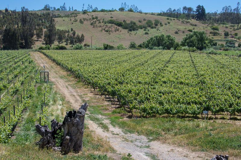 Vines at Casa Marin