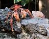 Coconut crab.