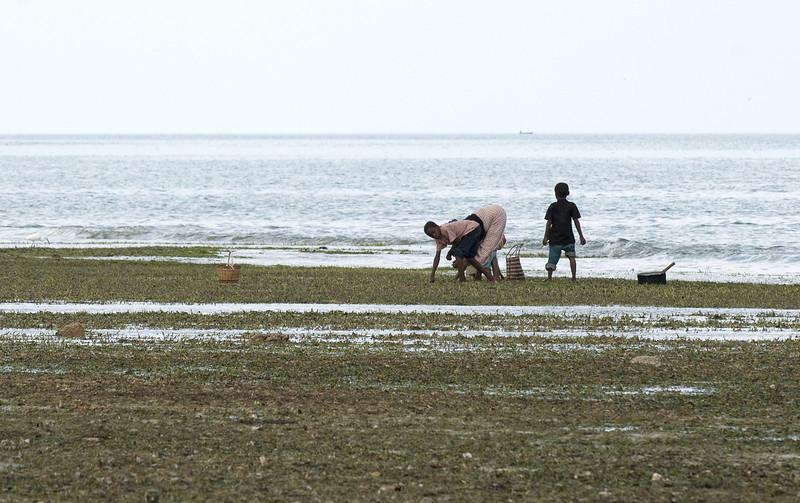 Harvesting seaweed on Zanzibar.