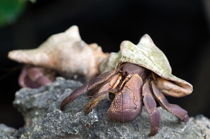 Juvenile coconut crabs.