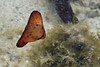 Is it a leaf or a baby batfish?