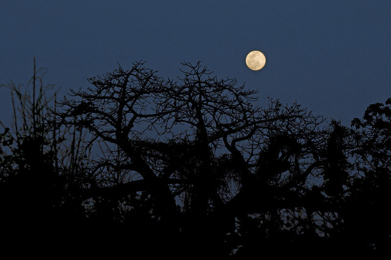 Moonrise over the Baobab tree.