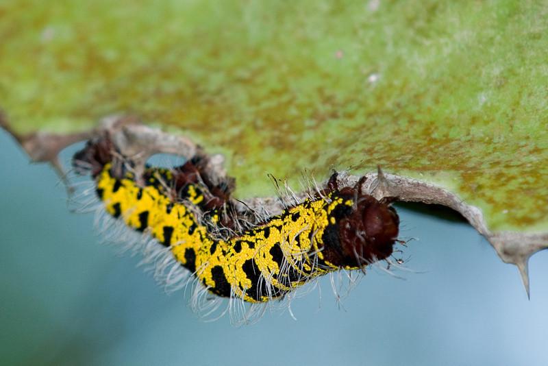 Caterpillar on a Euphorbia.