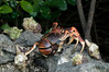 Coconut crabs.