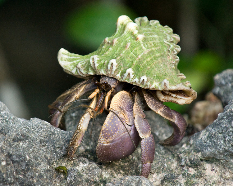 Juvenile coconut crabs live as hermit crabs until their shells are fully developed.