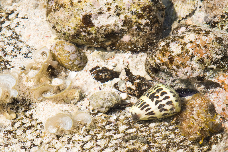 Cone shell on the reef.