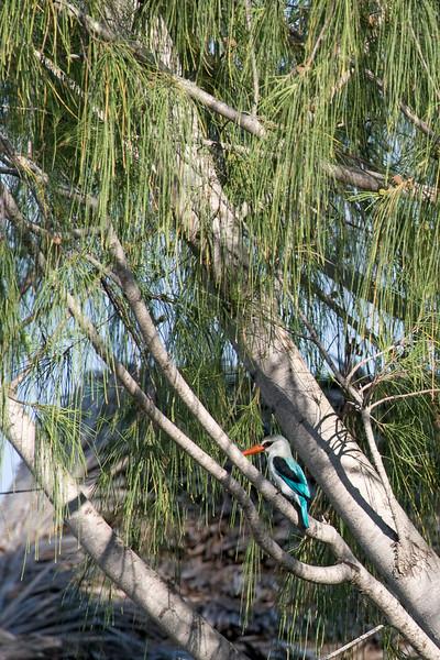 Woodland kingfisher (Halcyon senegalensis)