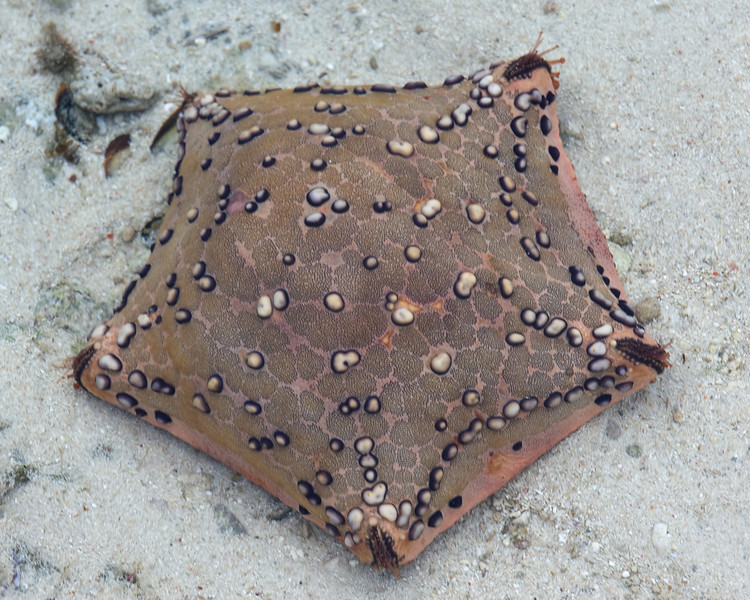 Cushion star.