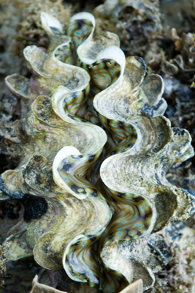 Giant clam (Tridacna)