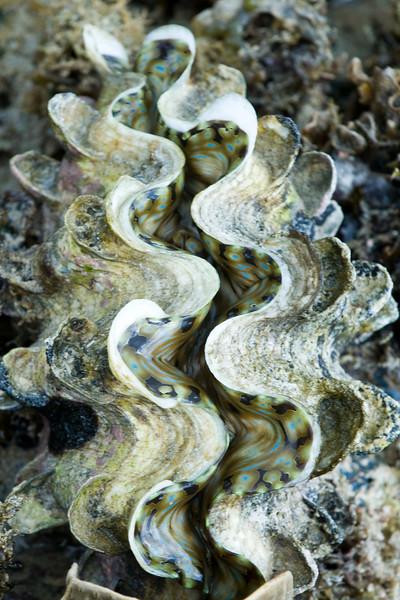 Giant clam (Tridacna)