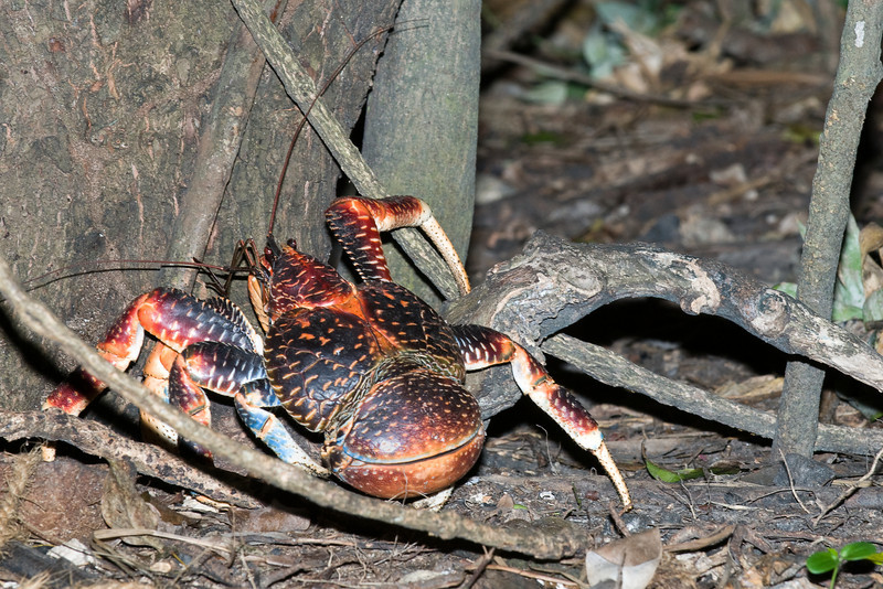 Coconut crab in the forest.