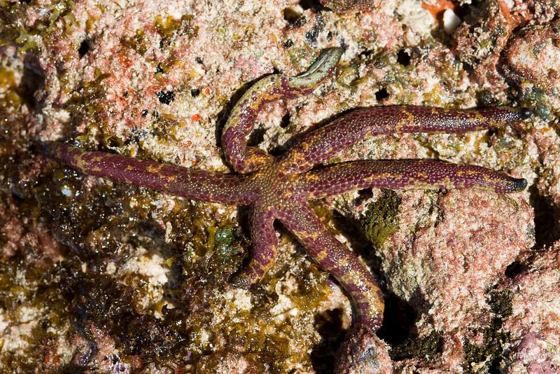 Sea star.