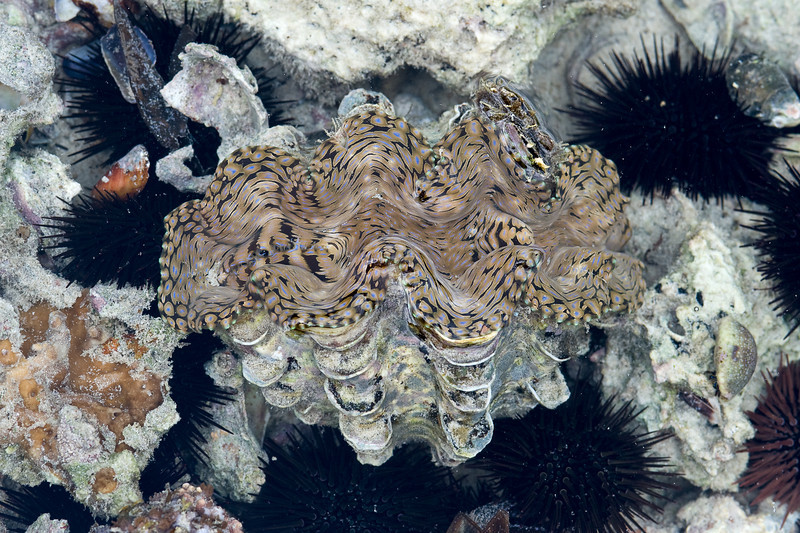Giant clam with urchins.