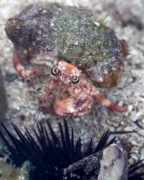 Hermit crab.