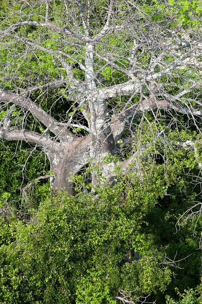 An old baobab tree stands in the mangroves.