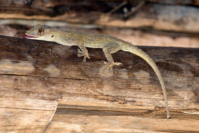 Geckos help rid the bungalows of bugs.