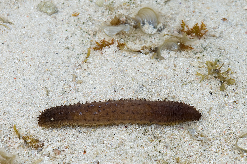 Sea cucumber at low tide.